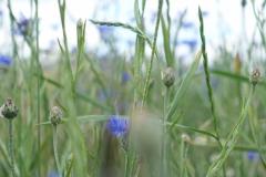 Kornfeld-blau