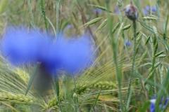 Kornfeld-blau2